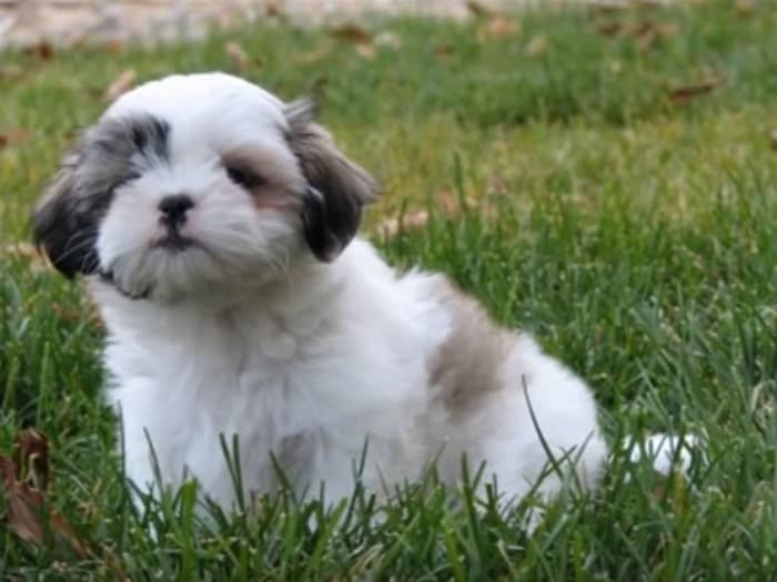 Are Shih Tzus Good Family Pets?