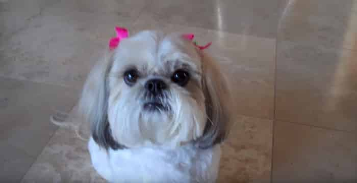 Do Shih Tzu Dogs Have Hair or Fur?