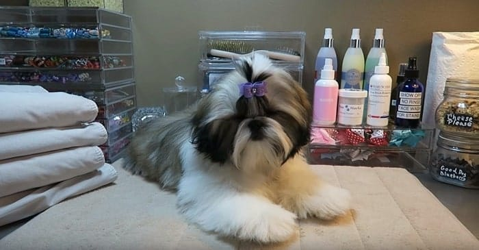 How To Potty Train Your Shih Tzu