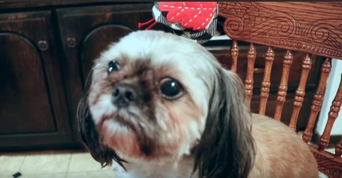 What Causes Tear Stains in Shih Tzu?