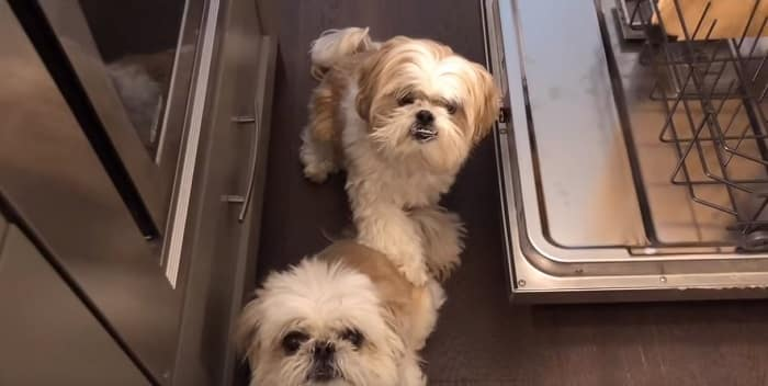 Do Shih Tzu Suffer From Separation Anxiety?
