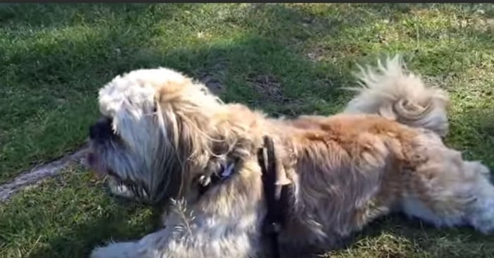 What To Do If My Shih Tzu Is Constipated