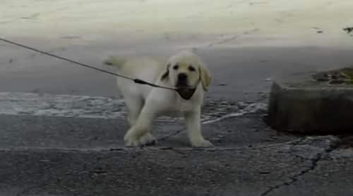 How Far Can a Labrador Puppy Walk
