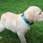 When Can You Start Walking Your Lab Puppy