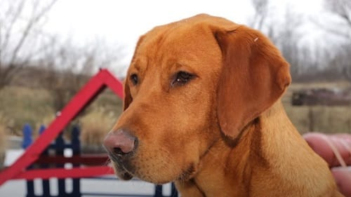 Do Fox Red Labs Get Darker As They Get Older