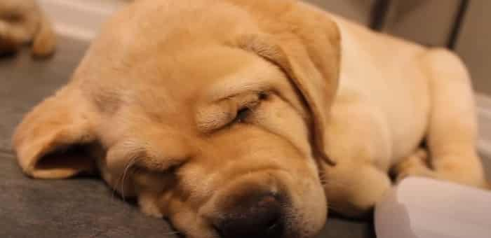 Is It Normal for Labrador Puppies To Snore
