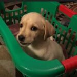 Stop Your Lab Puppy From Jumping and Biting