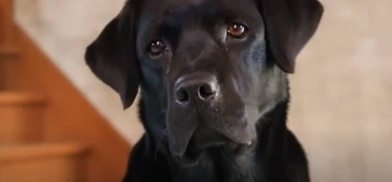 Why Labradors Are the Worst Dogs