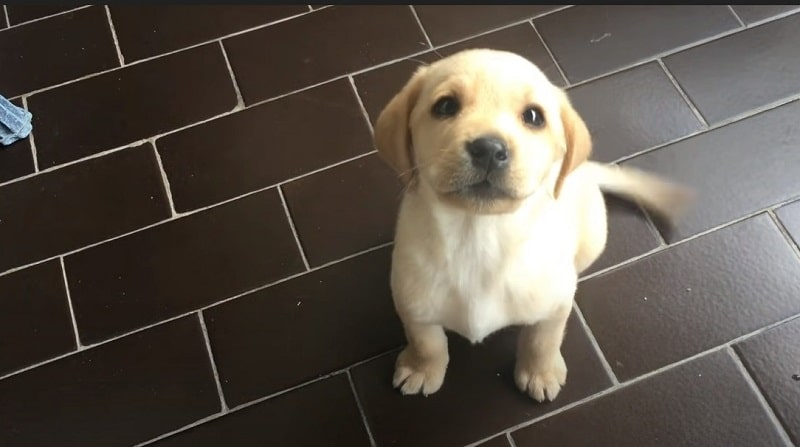 How To Identify A Pure Labrador Puppy
