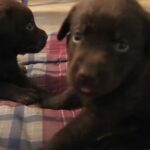 What Color Are Chocolate Labs At Birth