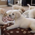 What Is the Best Way to Pick a Lab Puppy From a Litter