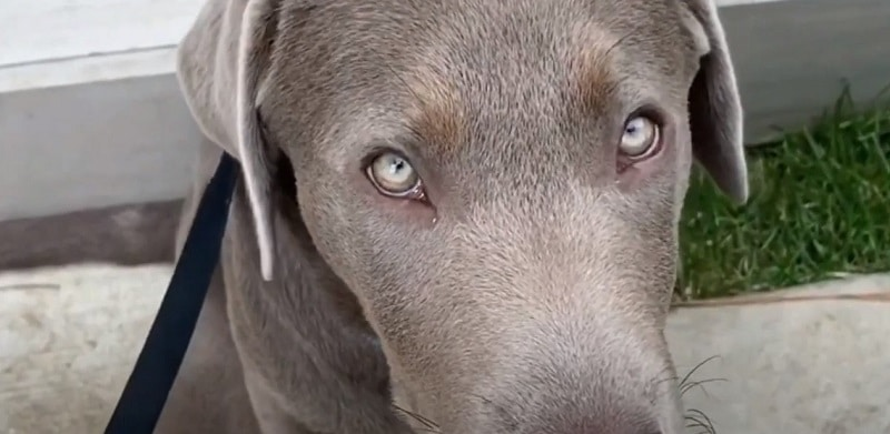 What is the Temperament of a Silver Lab