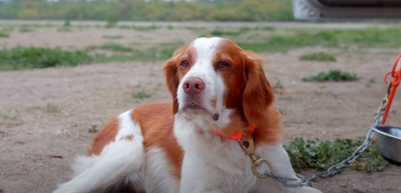 Do Brittany Dogs Shed A Lot