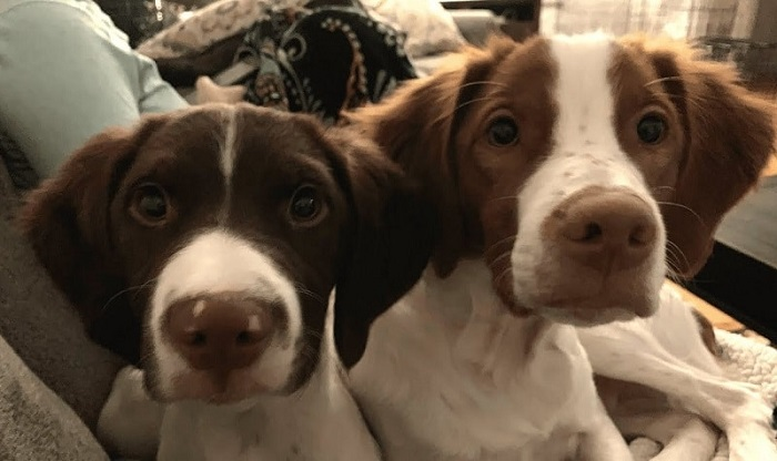 Is A Brittany Spaniel A Good First Dog
